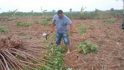 Petani Singkong Kampung Negara Bumi Udik Keluhkan Harga Singkong yg Anjlok